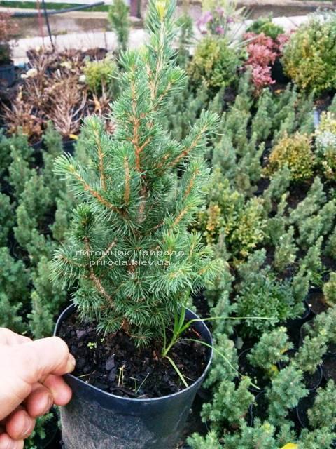 Ель канадская Коника (Picea glauca Conica) ФОТО Питомник растений Природа Priroda (140)