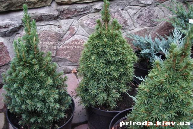 Ель канадская Коника (Picea glauca Conica) ФОТО Питомник растений Природа Priroda (141)