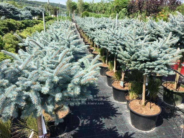 Ель колючая голубая Глаука Глобоза (Picea pungens Glauca Globosa) на штамбе ФОТО Питомник растений Природа Priroda (126)