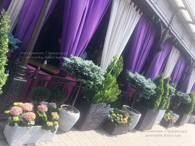 Туя Смарагд і Ель блакитна Глаука Глобоза на штамбі. Готель Premier Palace Hotel, м.Київ