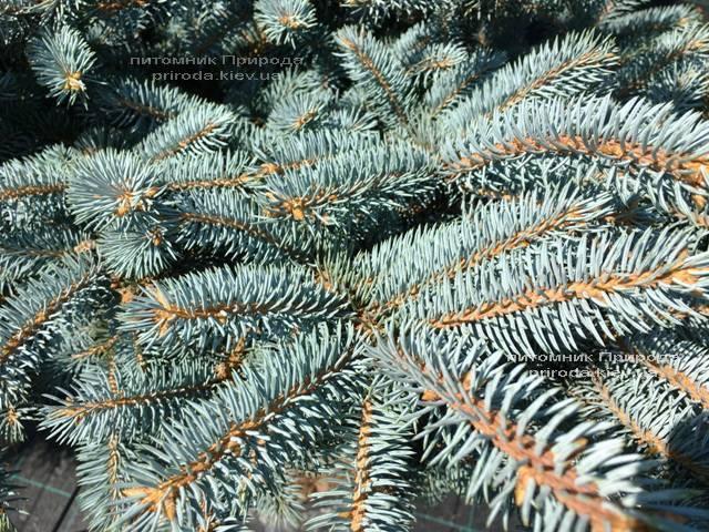 Ель колючая голубая Глаука Глобоза (Picea pungens Glauca Globosa) на штамбе ФОТО Питомник растений Природа Priroda (129)