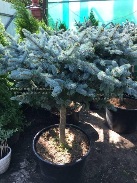 Ель колючая голубая Глаука Глобоза (Picea pungens Glauca Globosa) на штамбе ФОТО Питомник растений Природа Priroda (130)