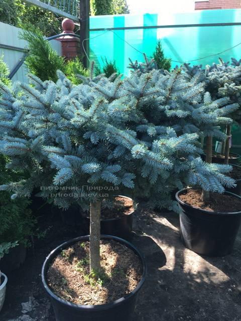 Ель колючая голубая Глаука Глобоза (Picea pungens Glauca Globosa) на штамбе ФОТО Питомник растений Природа Priroda (131)