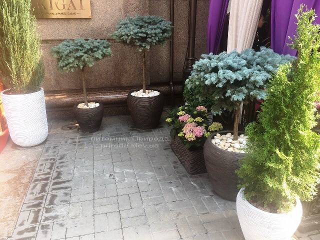 Ялина блакитна Глаука Глобоза на штамбі. Готель Premier Palace Hotel, м.Київ