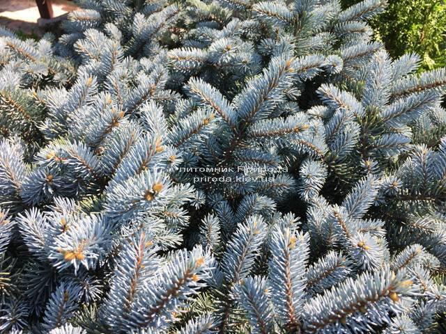 Ель колючая голубая Глаука Глобоза (Picea pungens Glauca Globosa) на штамбе ФОТО Питомник растений Природа Priroda (133)