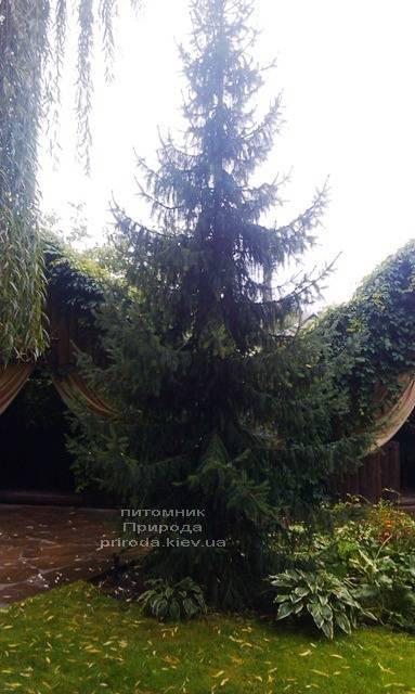 Ялина Сербська (Picea omorica) ФОТО Розплідник рослин Природа Priroda (151)