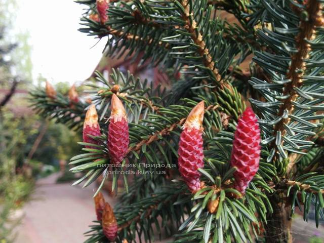 Ялина Сербська (Picea omorica) ФОТО Розплідник рослин Природа Priroda