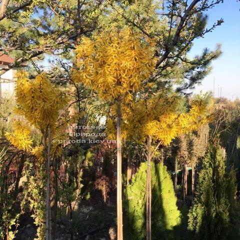 Форзиция промежуточная (Forsythia intermedia) на штамбе ФОТО Питомник растений Природа Priroda (5)
