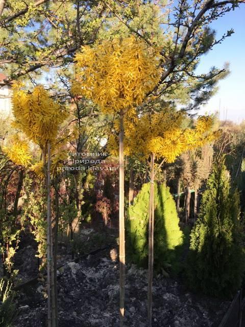 Форзиция промежуточная (Forsythia intermedia) на штамбе ФОТО Питомник растений Природа Priroda (6)