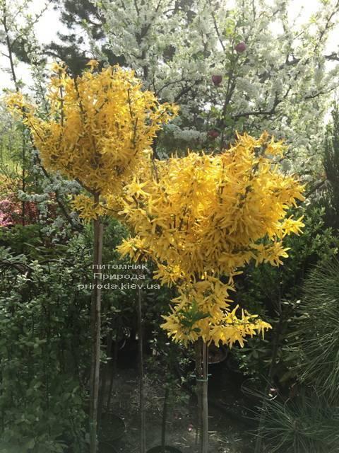 Форзиция промежуточная (Forsythia intermedia) на штамбе ФОТО Питомник растений Природа Priroda (7)