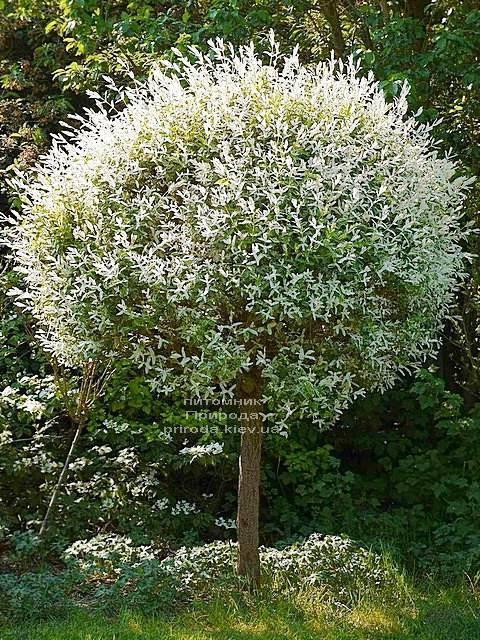 Іва цельнолистная японська Хакуро-Нішікі (Salix integra Hakuro-nishiki) на штамбі ФОТО Розплідник рослин Природа Priroda