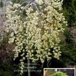 Верба козяча Кілмарнок плакуча (Salix caprea Kilmarnock рendula) на штамбі ФОТО Розплідник рослин Природа Priroda