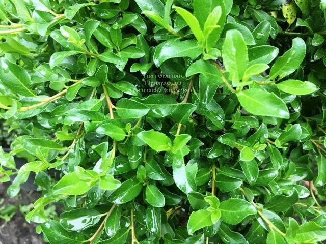 Іва сімулатрікс (Salix simulatrix) на штамбі ФОТО Розплідник рослин Природа Priroda