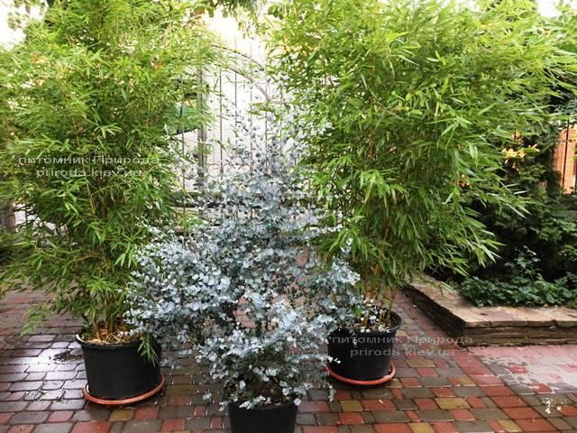 Евкаліпт (Eucalyptus) ФОТО Розплідник рослин Природа Priroda