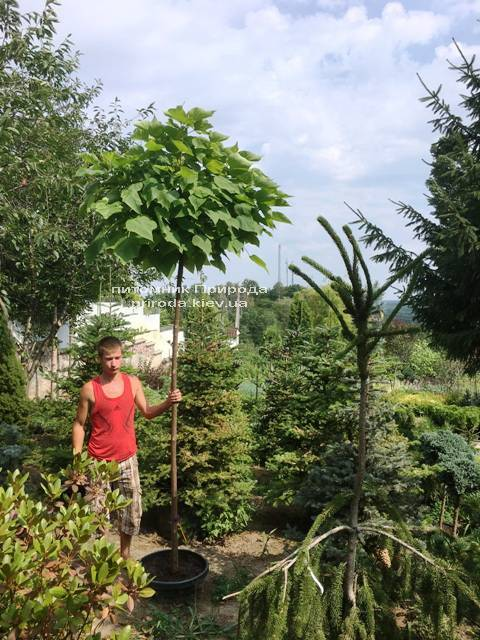Катальпа бигнониевидная Нана (Catalpa bignoides Nana) на штамбе ФОТО Питомник растений Природа Priroda (18)