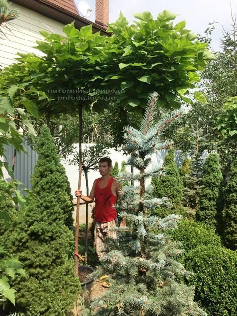 Катальпа бигнониевидная Нана (Catalpa bignoides Nana) на штамбе ФОТО Питомник растений Природа Priroda (19)