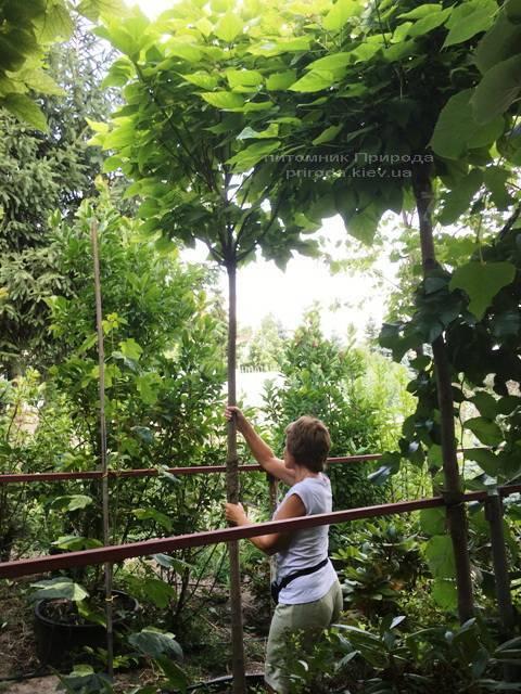 Катальпа бигнониевидная Нана (Catalpa bignoides Nana) на штамбе ФОТО Питомник растений Природа Priroda (21)