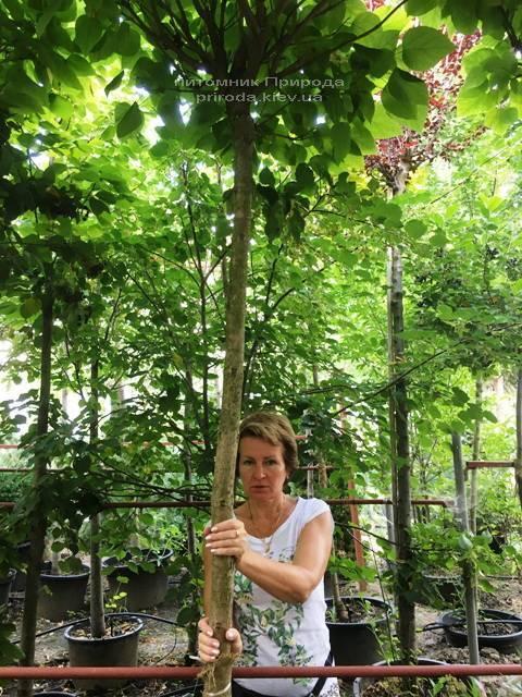 Катальпа бігнонієвидна Нана (Catalpa bignoides Nana) на штамбі ФОТО Розплідник рослин Природа Priroda (22)