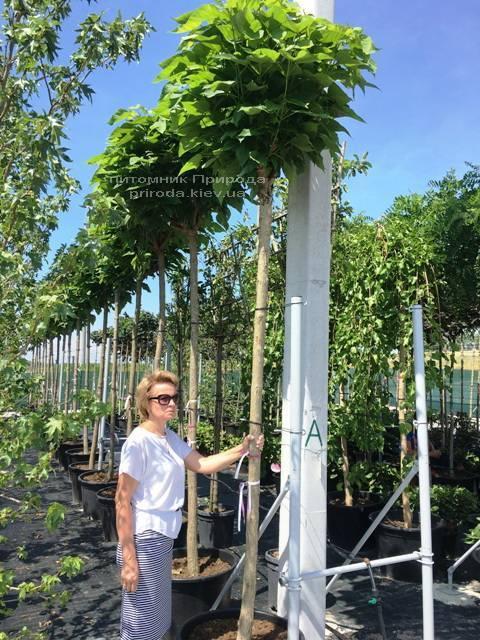 Катальпа бігнонієвидна Нана (Catalpa bignoides Nana) на штамбі ФОТО Розплідник рослин Природа Priroda (23)
