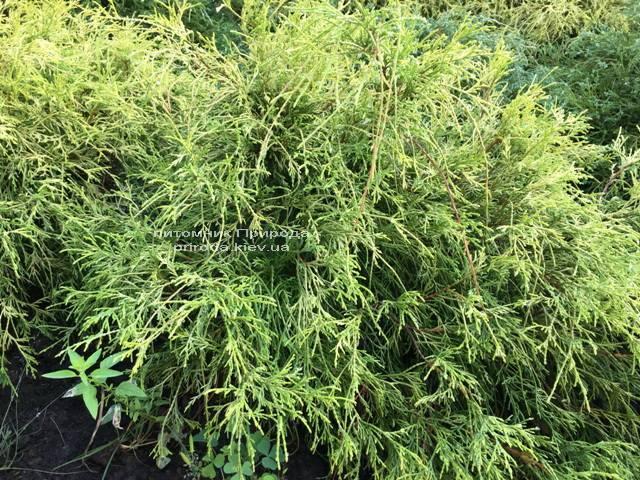 Кипарисовик горохоплодний Філіфера Ауреа Нана (Chamaecyparis pisifera Filifera Aurea Nana) ФОТО Розплідник рослин Природа Priroda (49)