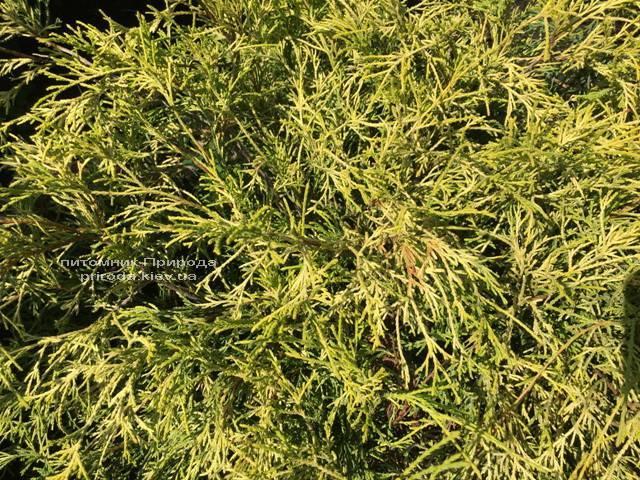 Кипарисовик горохоплодний Філіфера Ауреа Нана (Chamaecyparis pisifera Filifera Aurea Nana) ФОТО Розплідник рослин Природа Priroda (54)