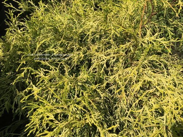 Кипарисовик горохоплодний Філіфера Ауреа Нана (Chamaecyparis pisifera Filifera Aurea Nana) ФОТО Розплідник рослин Природа Priroda (55)