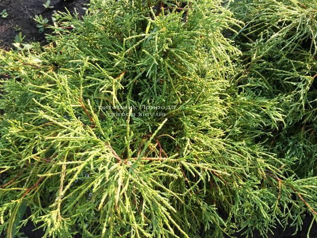 Кипарисовик горохоплодный Филифера Нана (Chamaecyparis pisifera Filifera Nana) ФОТО Питомник растений Природа Priroda (42)