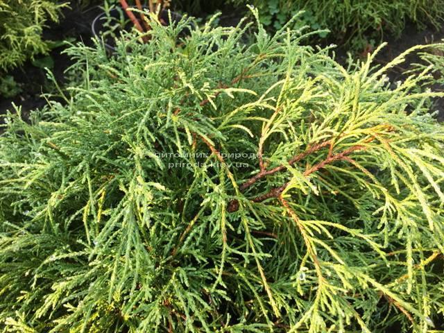 Кипарисовик горохоплодный Филифера Нана (Chamaecyparis pisifera Filifera Nana) ФОТО Питомник растений Природа Priroda (44)