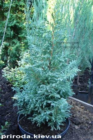 Кипарисовик Лавсона Болевард (Chamaecyparis lawsoniana Bolevard) ФОТО Питомник растений Природа Priroda (33)
