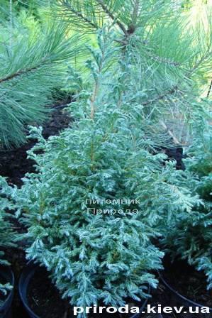 Кипарисовик Лавсона Болевард (Chamaecyparis lawsoniana Bolevard) ФОТО Питомник растений Природа Priroda (35)