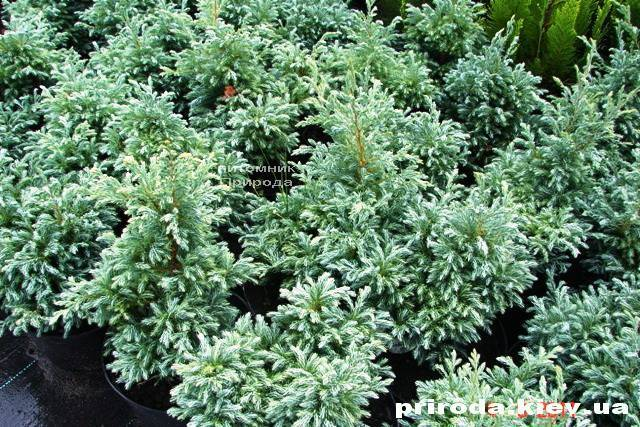 Кипарисовик Лавсона Болевард (Chamaecyparis lawsoniana Bolevard) ФОТО Питомник растений Природа Priroda (38)