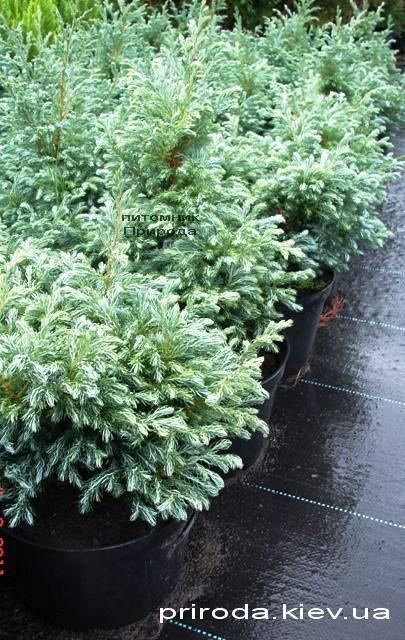 Кипарисовик Лавсона Болевард (Chamaecyparis lawsoniana Bolevard) ФОТО Питомник растений Природа Priroda (39)