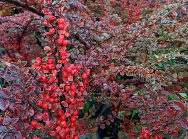 Кизильник горизонтальний (Cotoneaster horizontalis) ФОТО Розплідник рослин Природа Priroda (6)