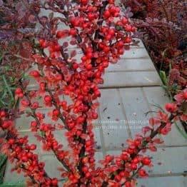 Кизильник горизонтальний (Cotoneaster horizontalis) ФОТО Розплідник рослин Природа Priroda (7)