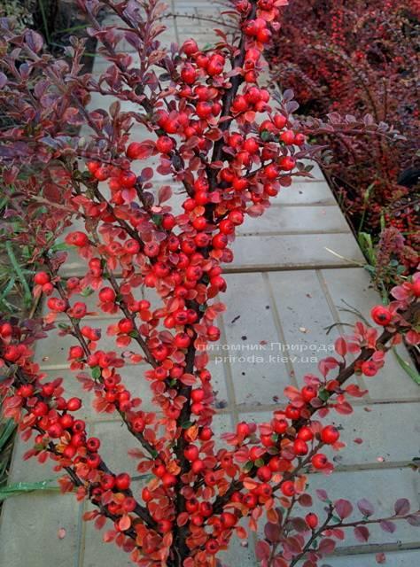 Кизильник горизонтальный (Cotoneaster horizontalis) ФОТО Питомник растений Природа Priroda (7)