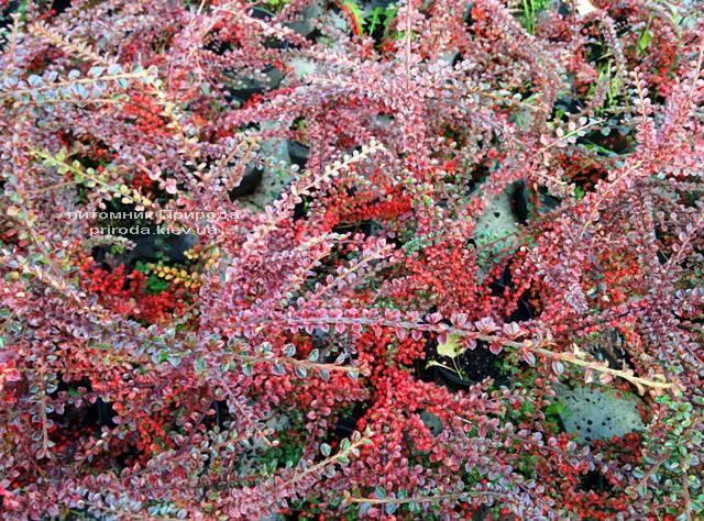 Кизильник горизонтальний (Cotoneaster horizontalis) ФОТО Розплідник рослин Природа Priroda (8)