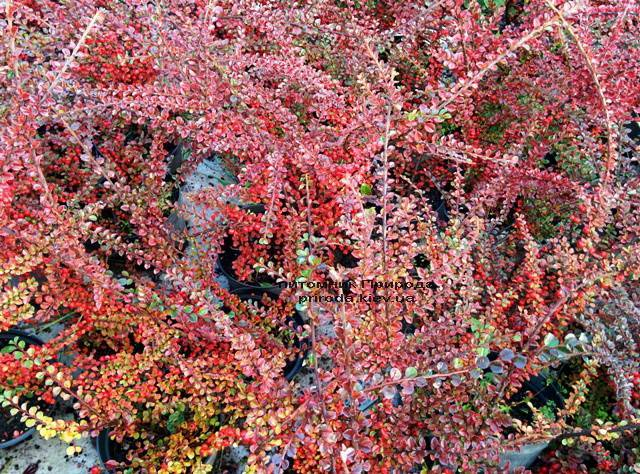 Кизильник горизонтальний (Cotoneaster horizontalis) ФОТО Розплідник рослин Природа Priroda (9)