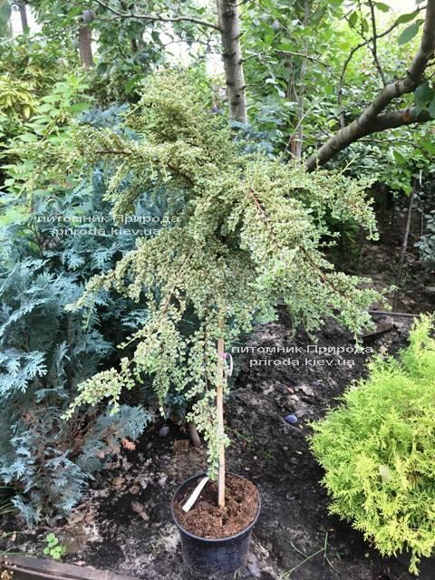 Кизильник горизонтальний Варіегатус (Cotoneaster horizontalis Variegatus) на штамбі ФОТО Розплідник рослин Природа Priroda (17)