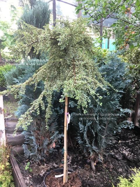 Кизильник горизонтальний Варіегатус (Cotoneaster horizontalis Variegatus) на штамбі ФОТО Розплідник рослин Природа Priroda (19)