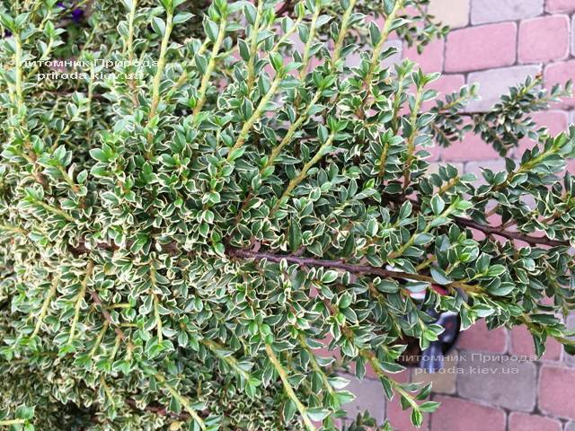 Кизильник горизонтальний Варіегатус (Cotoneaster horizontalis Variegatus) на штамбі ФОТО Розплідник рослин Природа Priroda (21)