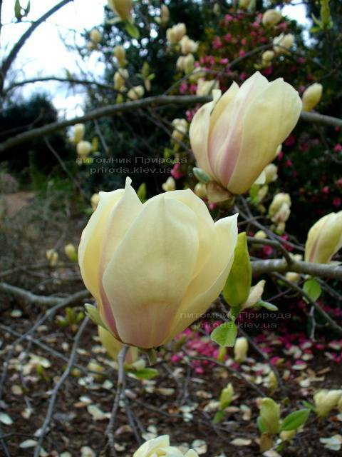 Магнолия Еллоу Лантерн (Magnolia Yellow Lantern) ФОТО Питомник растений Природа Priroda (96)