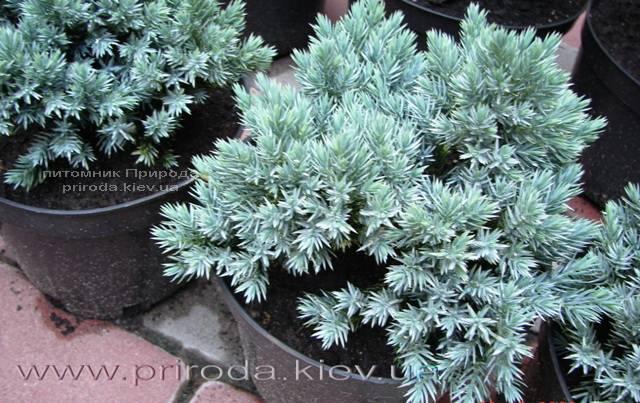 Можжевельник чешуйчатый Блю Стар (Juniperus squamata Blue Star) ФОТО Питомник растений Природа Priroda (151)