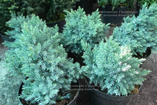 Можжевельник чешуйчатый Блю Стар (Juniperus squamata Blue Star) ФОТО Питомник растений Природа Priroda (149)