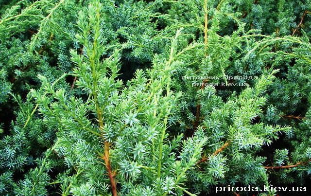 Можжевельник китайский Блю Альпс (Juniperus chnensis Blue Alps) ФОТО Питомник растений Природа (Priroda) (152)
