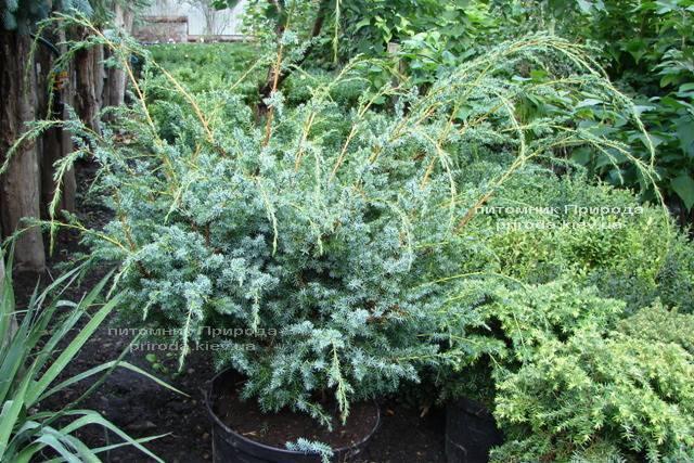 Можжевельник китайский Блю Альпс (Juniperus chnensis Blue Alps) ФОТО Питомник растений Природа (Priroda) (153)