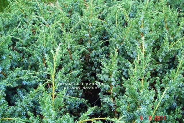 Можжевельник китайский Блю Альпс (Juniperus chnensis Blue Alps) ФОТО Питомник растений Природа (Priroda) (155)