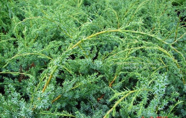 Можжевельник китайский Блю Альпс (Juniperus chnensis Blue Alps) ФОТО Питомник растений Природа (Priroda) (157)
