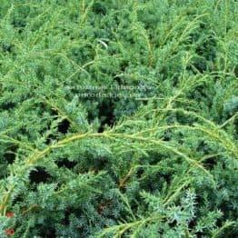 Ялівець китайський Блю Альпс (Juniperus chnensis Blue Alps) ФОТО Розплідник рослин Природа (Priroda) (158)