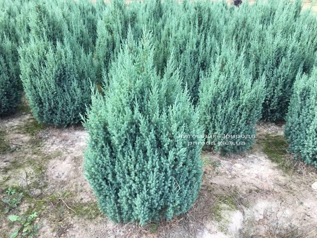 Ялівець китайський Стрикта (Juniperus chinensis Stricta) ФОТО Розплідник рослин Природа Priroda (192)