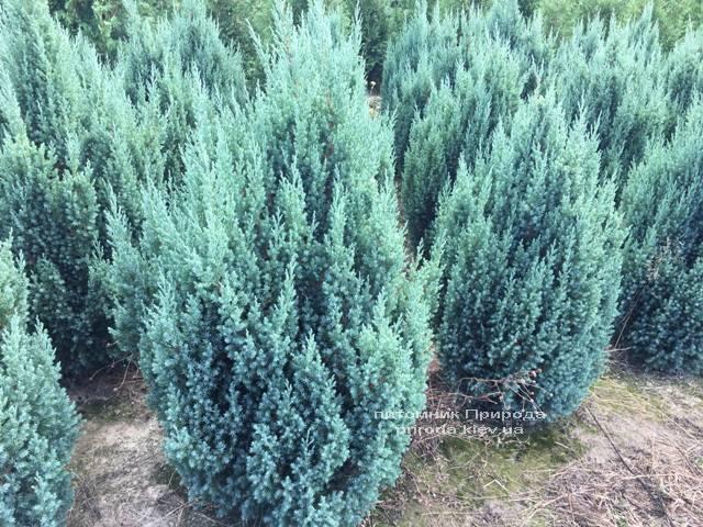 Ялівець китайський Стрикта (Juniperus chinensis Stricta) ФОТО Розплідник рослин Природа Priroda (193)